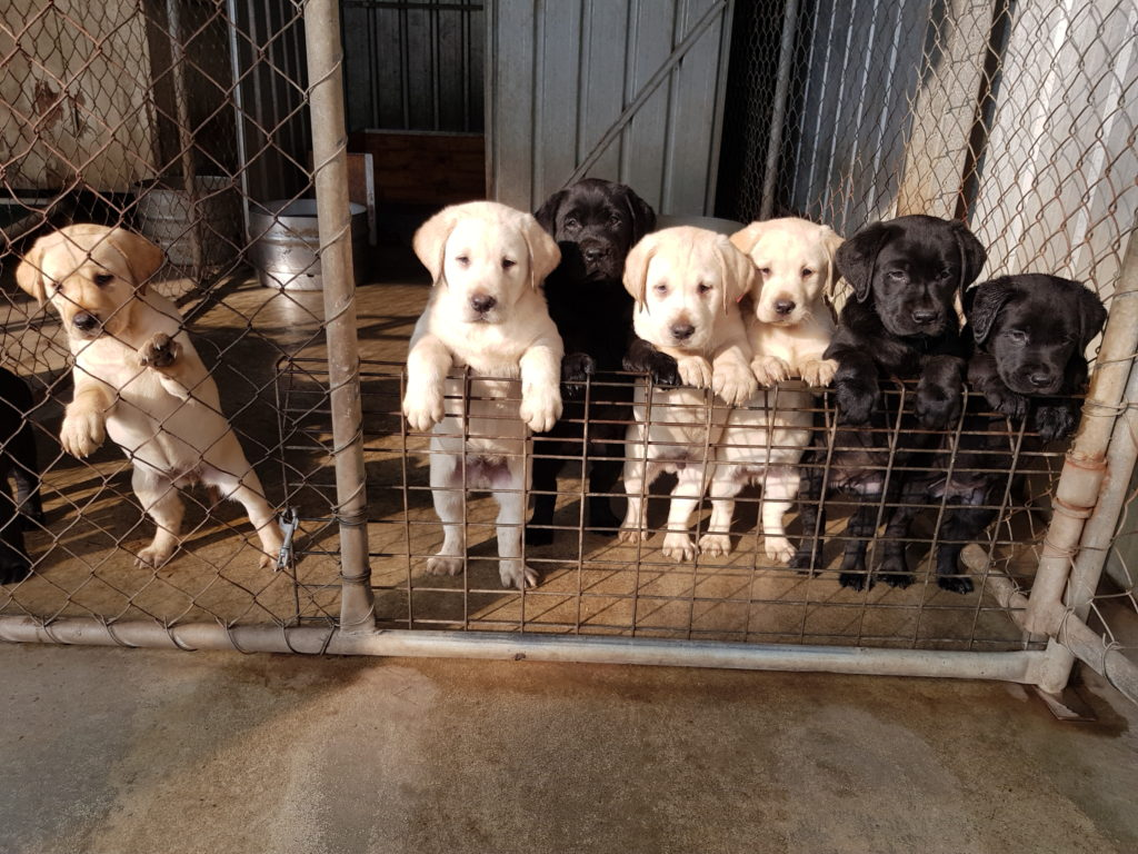 NEWS – KADNOOK KENNELS Labrador Retrievers
